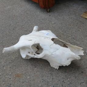 #26787 - 115$ Crâne de boeuf