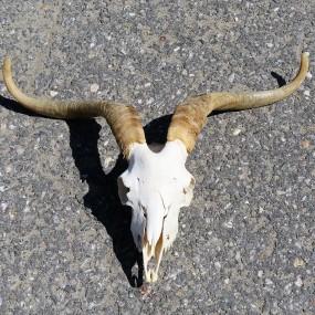 #26875 - 125$ Crâne