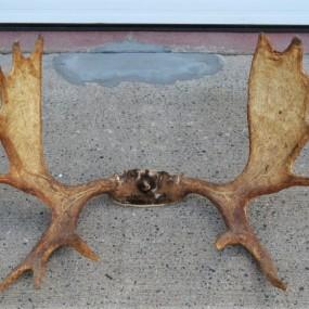 #33209 - 145$ Moose rack