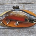 Poisson, truite mouchetée empaillée  - 1